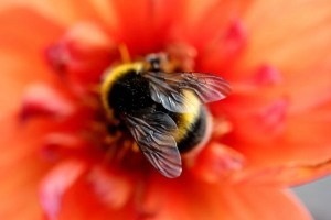 bee-on-red-flower
